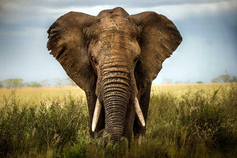 THE ELEPHANT SYNDROME: LEARNED HELPLESSNESS